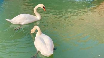Nem igaz, hogy a koronavírus alatt kitisztult víz miatt tértek vissza a hattyúk Velencébe
