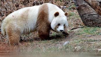 Apa lehet a világ egyetlen barna óriáspandája