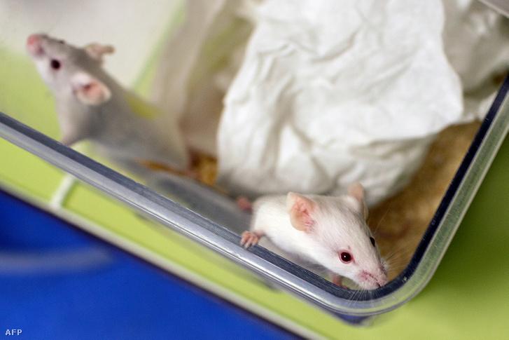 Kísérleti egerek egy francia kutatóintézetben