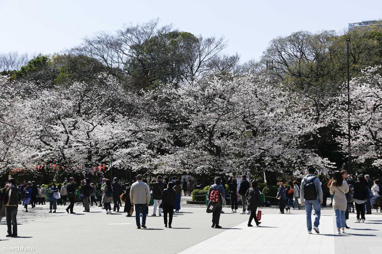 Így néz ki most a tokiói Ueno Park: tele virágzó fákkal és szájmaszkot viselő emberekkel.