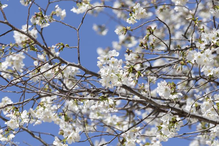 Nem tagadjuk, valóban gyönyörű látványt nyújtanak a virágba borult fák