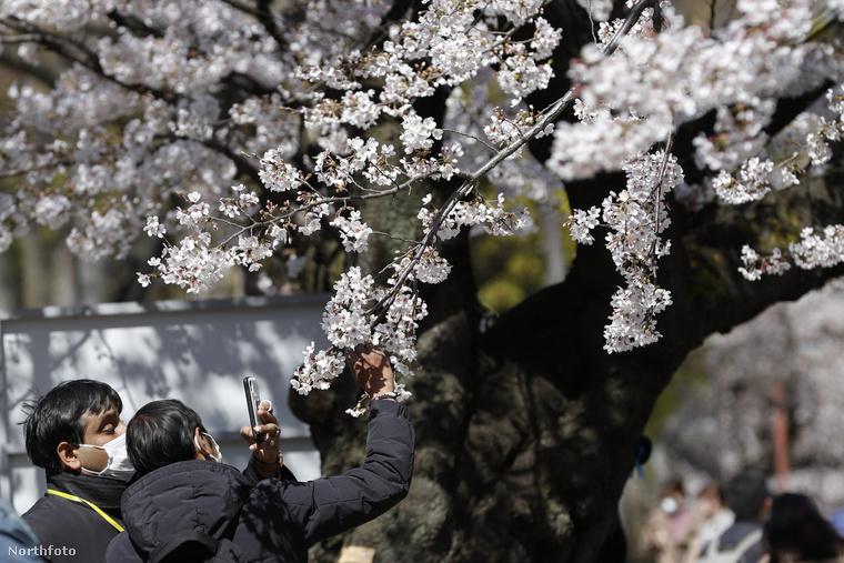 A japánok többsége nemcsak nézi, le is fotózza a virágokat