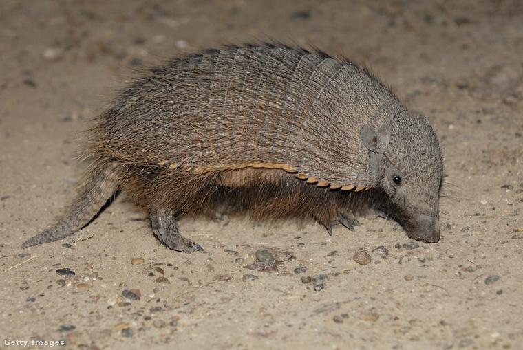 A gyapjas armadilló szó szerint sikít, ha hozzáérsz.