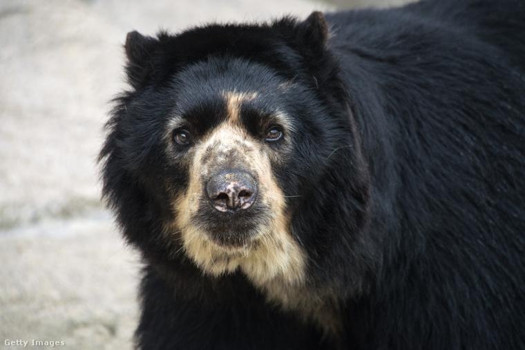A legtöbb medve legszívesebben egyedül tengeti a napjait