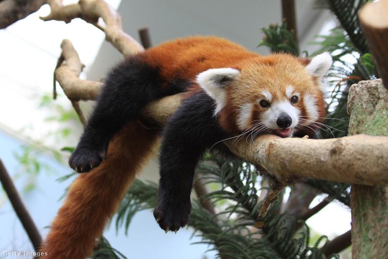 A jávorszarvashoz hasonlóan a vörös pandák is csak párzási céllal kerülnek kapcsolatba egymással
