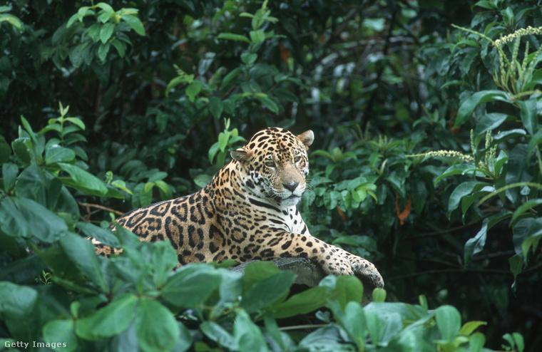 Nem kell túlbonyolítani: a jaguárok legszívesebben még egymást is elkerülik.