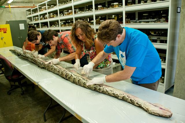A Floridai Természettörténeti Múzeum munkatársai a Floridában talált eddigi legnagyobb, 5,35 méter hosszú és 74,3 kg-os, a belsejében 87 tojást nevelő burmai pitont boncolják a Floridai Egyetemen