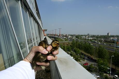 Tőkésréce-fiókák mentése lapostetős irodaházról, 2007-ben