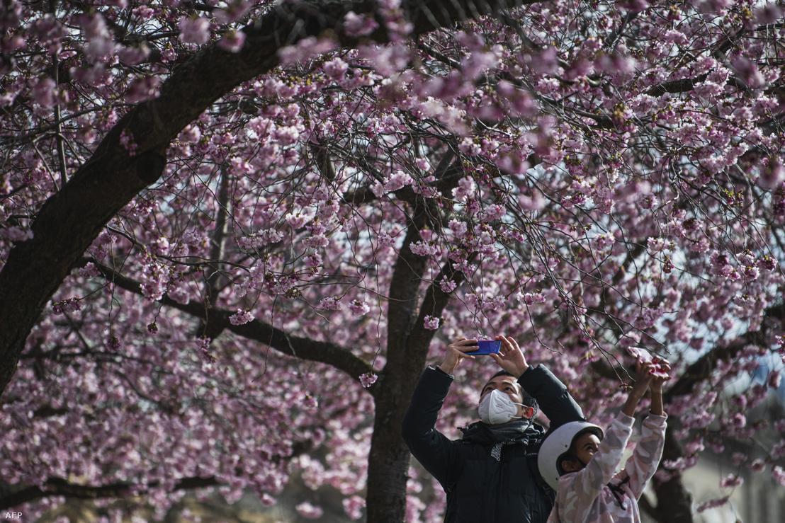 Emberek fényképezik a virágzó cseresznyefákat Stockholmban 2020 március 28-án.