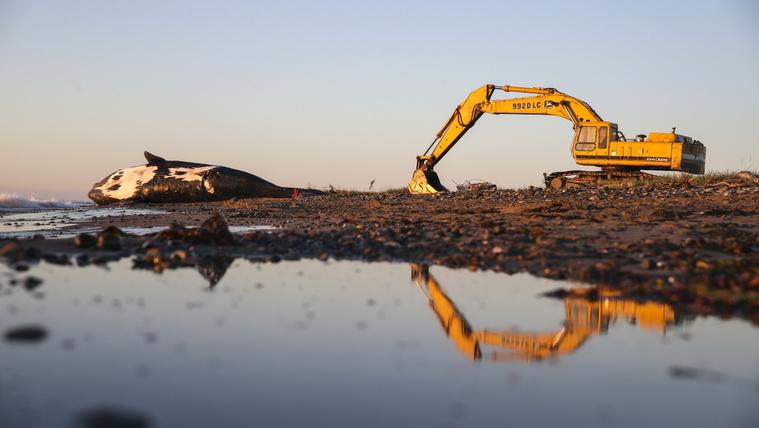 Egy 9 éves simabálna holtteste fekszik a New Brunswick-i Miscou-sziget tengerpartján, miután 2019. június 7-én este egy partra vontatták.