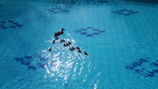 Kacsacsalád vette birtokba a Lukács Gyógyfürdő medencéjét
