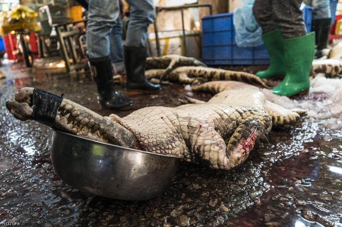 Eladásra szánt krokodil a kínai Huangsha halpiacon a kínai Kuantung tartományban lévő Kuangcsouban