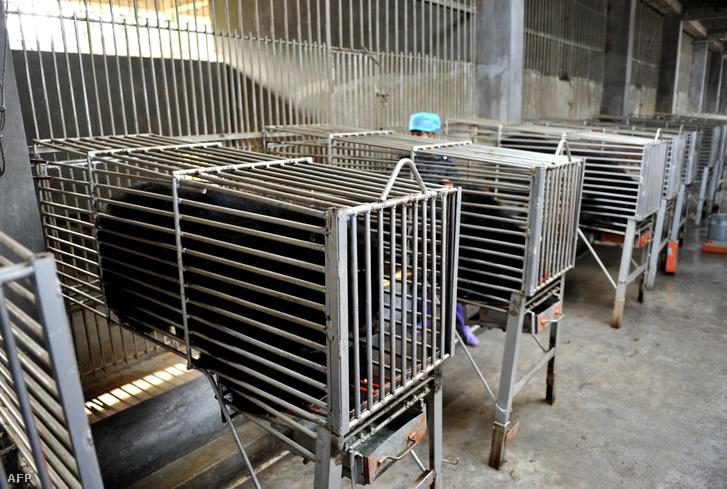 Ketrecbe zárt medvék a Kína Fucsien tartományában lévő Kujizhentang nevű, hagyományos kínai gyógyszerek előállításával foglalkozó cég telephelyén. A medveepét hagyományosan különböző egészségügyi problémák kezelésére használják Kínában.