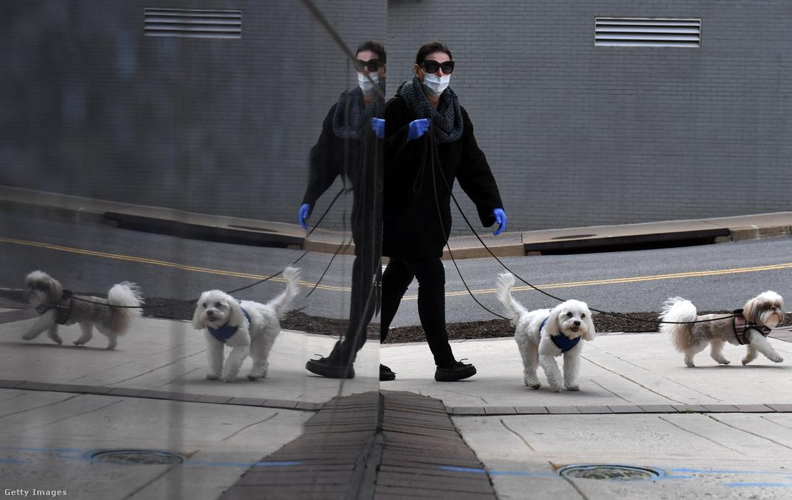 Kutyáit sétáltatja egy arlingtoni (USA) nő, április elsején