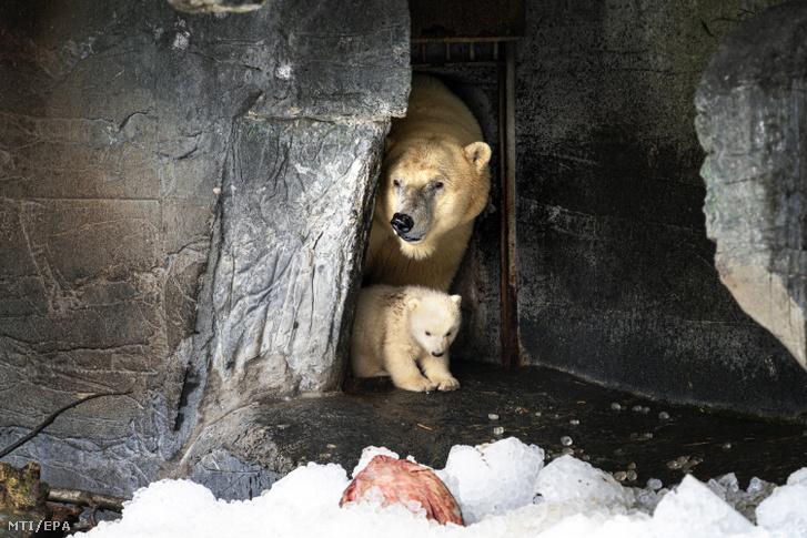 A koppenhágai állatkert jegesmedvebocsa anyja társaságában 2020. február 27-én. A Nemzetközi Jegesmedve Nap célja hogy felhívja a figyelmet arra hogy a globális felmelegedés veszélyezteti a jegesmedve populáció fennmaradását.