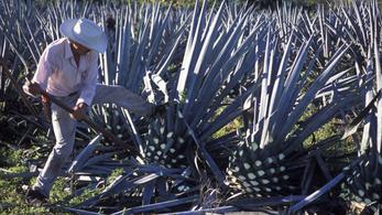 Tequila helyett biobenzint gyártanának agávéból
