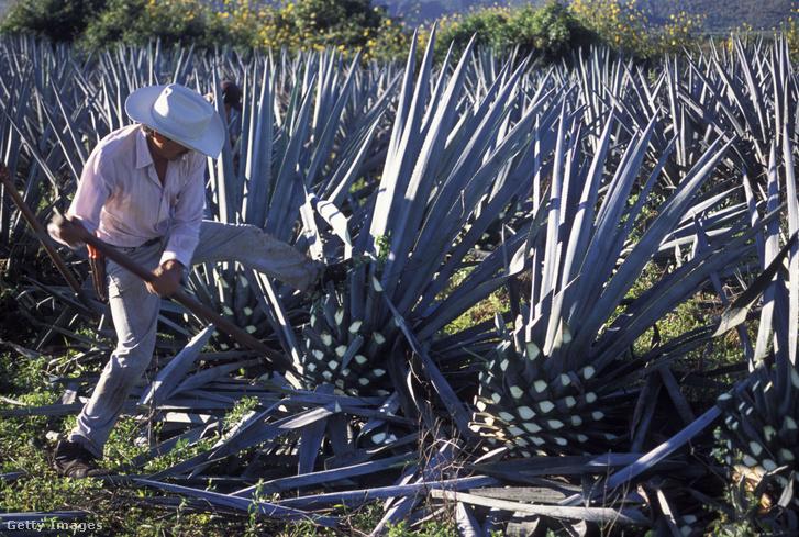 Így aratják a tequila gyártásához használt kék agávét (Agave tequilana)