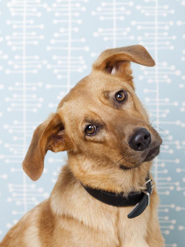Mit jelent, ha a kutya az egyik oldalra dönti a fejét, és úgy néz rád?