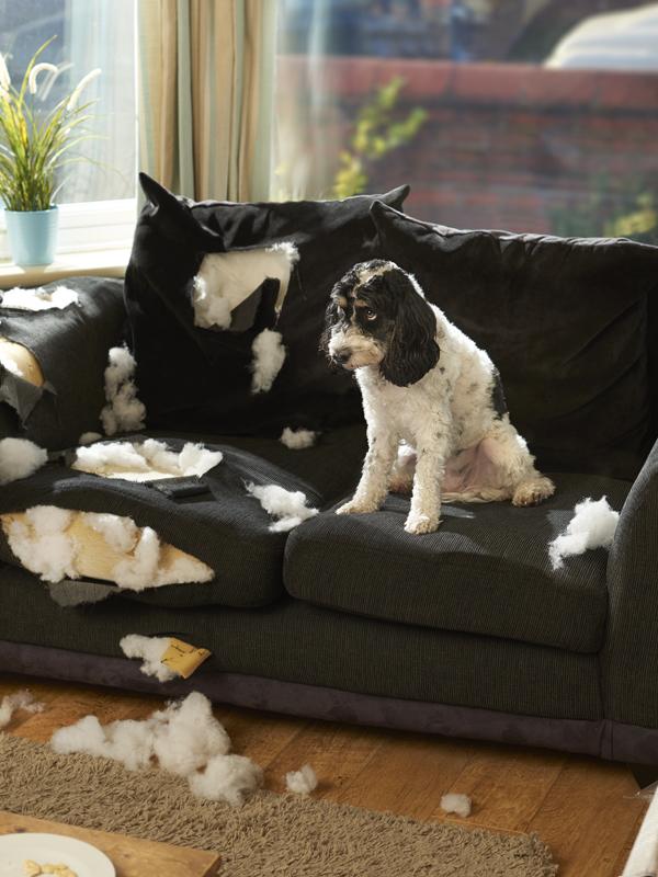 Miért rágja meg általában a legtöbb kutya a bútorokat?