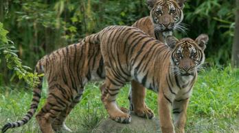 Koronavírusos a bronxi állatkert tigrise