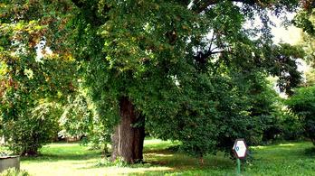 Melyik Budapest legöregebb fája?