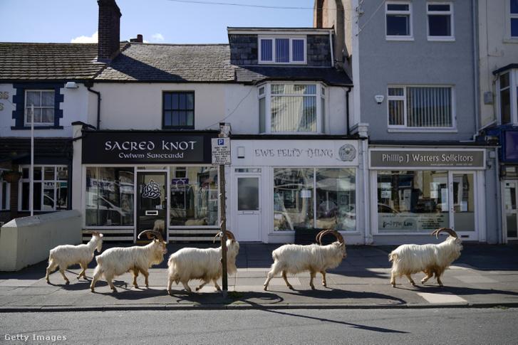 Hegyi kecskék barangolnak Llandudno utcáin Walesben 2020. március 31-én