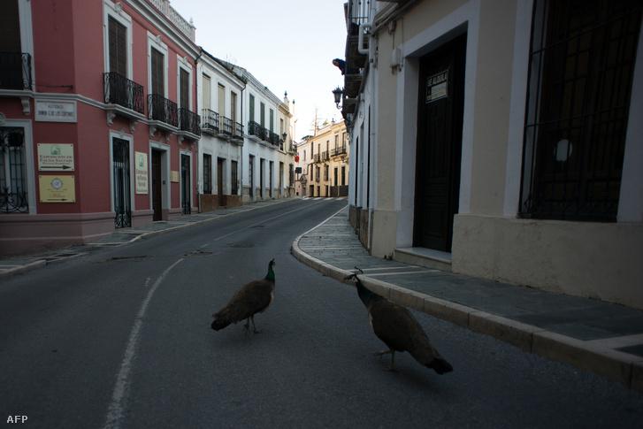 Két páva sétálgat a spanyolországi Ronda városában 2020. április 3-án