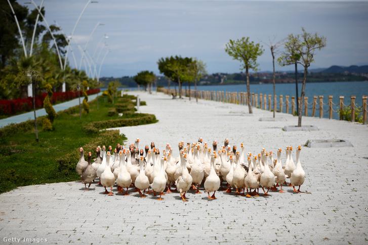Mivel a hatóságok arra kérték az embereket maradjanak otthon, így a kacsák az üres partszakaszon grasszálnak Adnan Menderes körút közelében Törökországban 2020. március 31-én