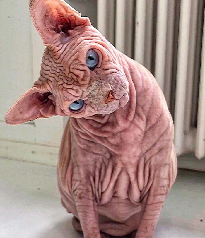 A szfinxek, avagy kanadai szőrtelen macskák körében is ritka az ilyen ráncos bőrfelszín, de Xherdant pont ez teszi különlegessé.