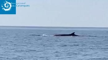 A bálnák jól érzik magukat a lecsendesedett vizekben a francia partoknál