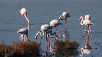A baráti kapcsolatok a flamingók számára is nagyon fontosak