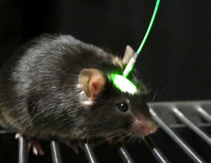Optogenetikai kezelés alatt álló kísérleti egér