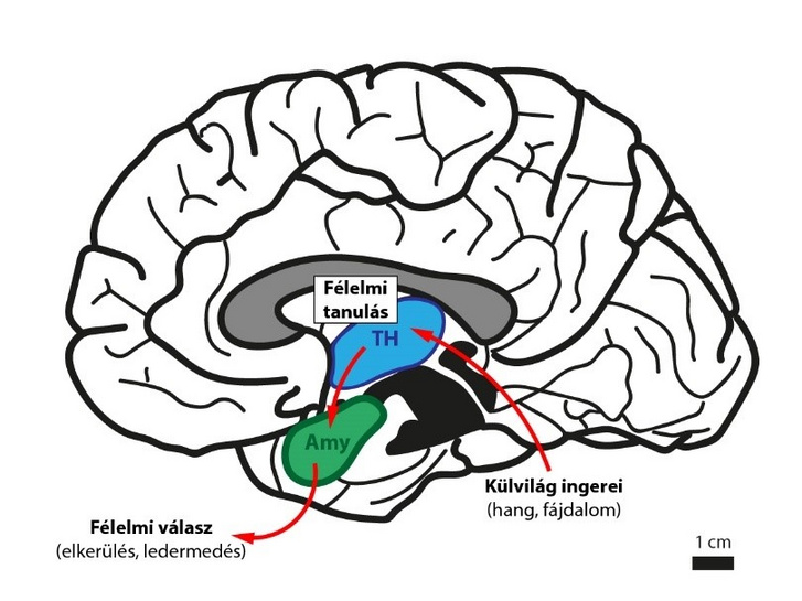 A külvilági ingerek társítása (a tanulás) már a talamuszban (TH, kék) megtörténik, mely az amygdalán keresztül képes befolyásolni a viselkedési reakciókat (például a félelmet)