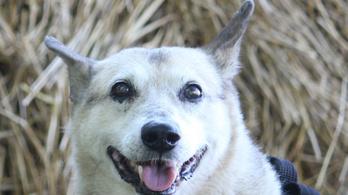 Különleges gének miatt élnek meg matuzsálemi kort egyes kutyák