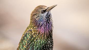 Az amerikaiak Shakespeare-nek köszönhetik az egyik legirritálóbb invazív madárfajt