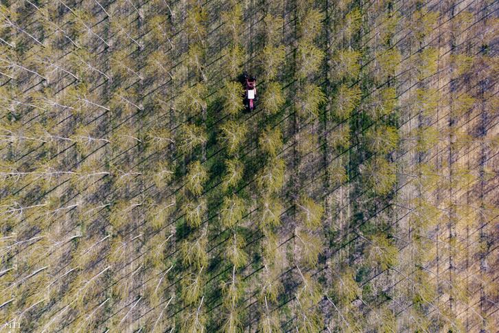 Speciális traktorról metszik a nyárfákat Somogy megyében