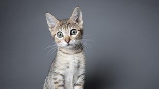 Mi az a kis zseb a macskák fülén?
