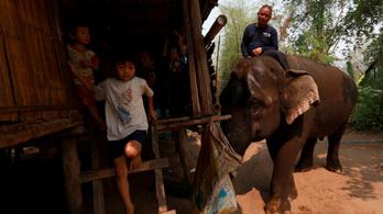 Éhhalál fenyegeti a thaiföldi elefántokat