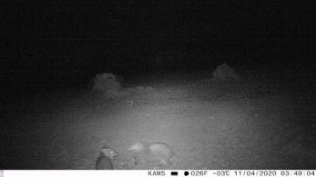 Több bejelentés is érkezett, hogy barnamedvék járnak a Bükkben és a Mátrában