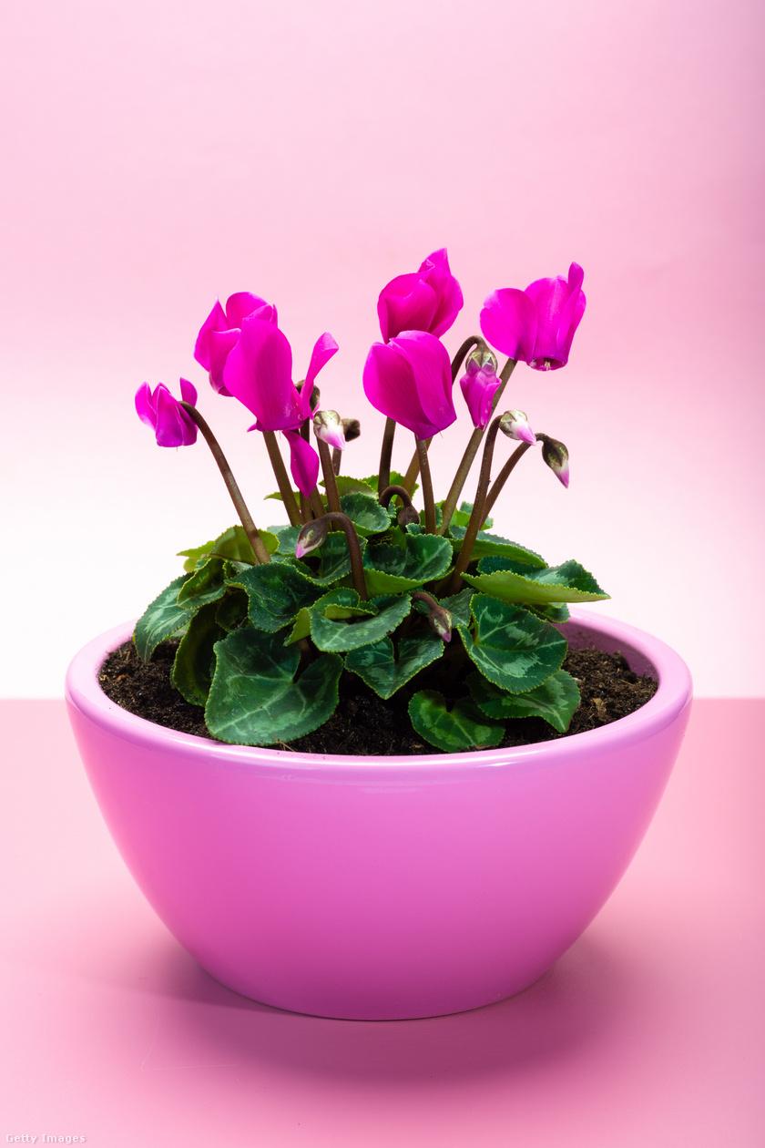 Ciklámen - a szépen virágzó növény virágpora orrdugulást, orrfolyást, tüsszögést okozhat azoknál, akik érzékenyek rá.