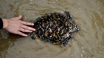 Több fészket tudnak rakni a tengeri teknősök a lezárások miatt