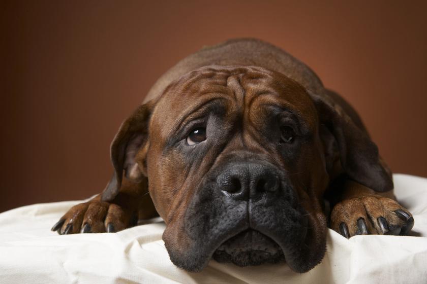 5 tünet, hogy a kutya lelki beteg: nem lusta, hanem depressziós?