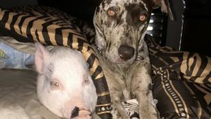 Íme egy törpemalac és egy kutya, akik hat éve legjobb barátok