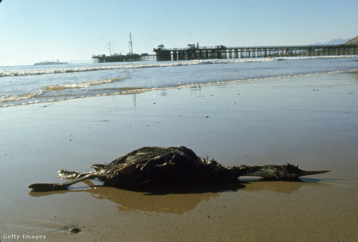 Az olajszennyezés következtében elpusztult madár Santa Barbara tengerpartján 1969 februárjában