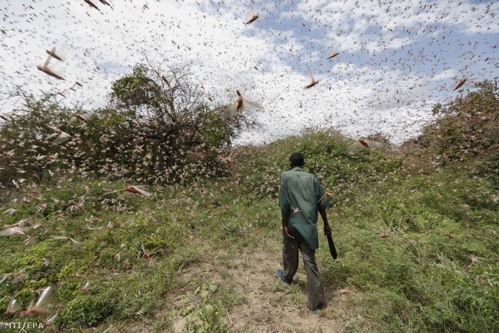 Sivatagi sáskákat próbál elűzni egy férfi birtokáról a kenyai fővárostól 200 kilométerre keletre fekvő Enziuban 2020. január 24-én. A hatalmas sáskarajok hetek óta pusztítják a növényzetet Kenya északi és keleti térségében, miután a szomszédos Szomáliában mintegy 70 ezer hektárnyi területet legeltek le
