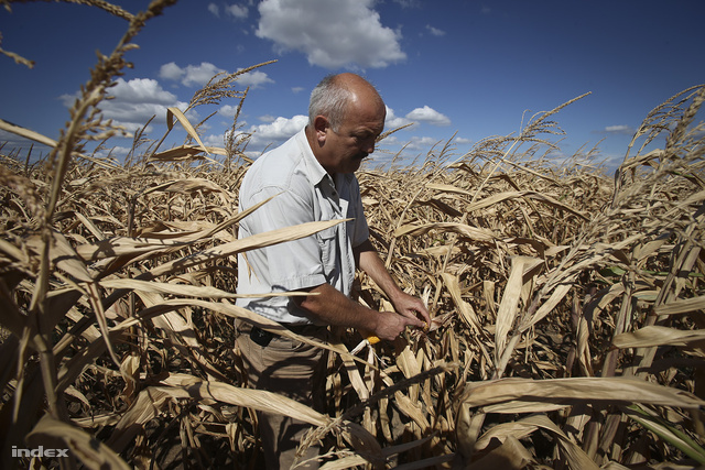Urbán Imre mutatja a kukoricáját Kartalon.