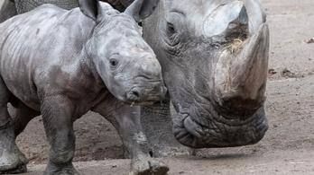 Felfüggesztették az északi szélesszájú orrszarvú megmentésére indított kutatást