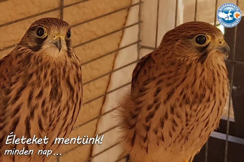 Gyakran kerülnek hozzájuk áramütést szenvedett nagymadarak, így a képen látható vörösvércse-pár is. A madarakra félholtan találtak rá, ám súlyosan sérült szárnyaik is meggyógyultak a napi kezelések alatt. Csodás látvány, ahogy felrepültek szabadon engedésük napján.