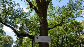 Leltárba veszik a budapesti fákat