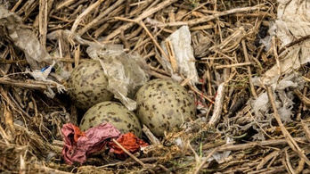 Tele van kidobált műanyaggal a tengeri madarak fészke